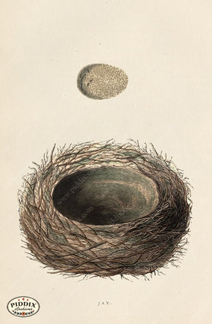 Pdxc2943A -- Bird Eggs & Nests Color Illustration