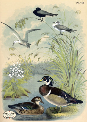 Pdxc3169 -- Birds Color Illustration