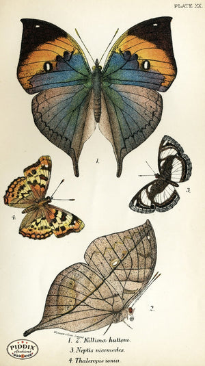 Pdxc4357 -- Butterflies Color Illustration
