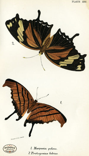 Pdxc4362 -- Butterflies Color Illustration