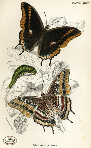 Pdxc4363 -- Butterflies Color Illustration