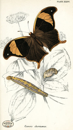 Pdxc4373 -- Butterflies Color Illustration
