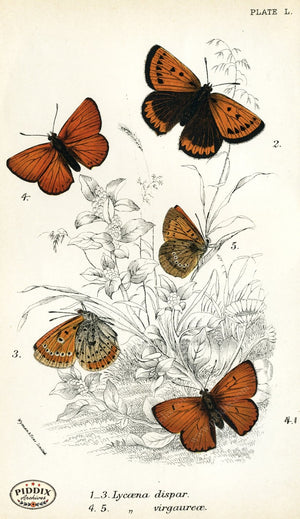Pdxc4394 -- Butterflies Color Illustration