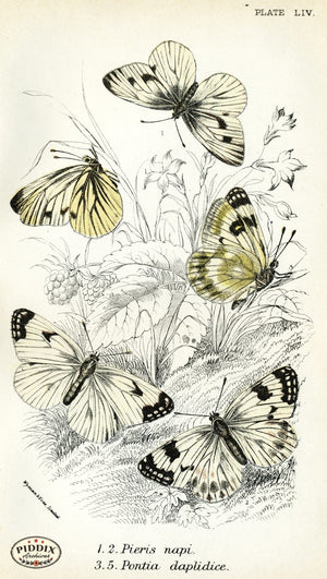 Pdxc4398 -- Butterflies Color Illustration