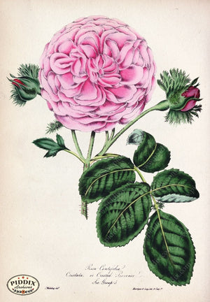 Pdxc5234 -- Roses Color Illustration