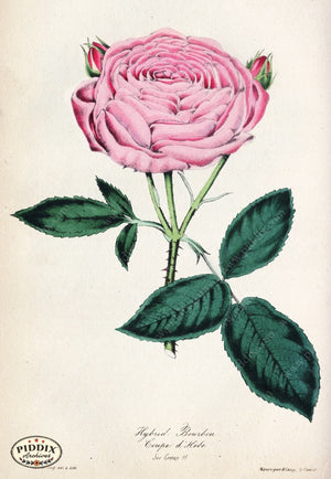 Pdxc5238 -- Roses Color Illustration