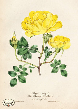 Pdxc5241 -- Roses Color Illustration