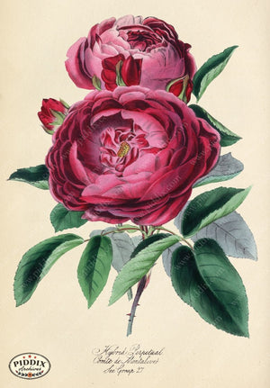 Pdxc5242A -- Roses Color Illustration