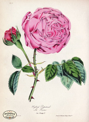Pdxc5243 -- Roses Color Illustration