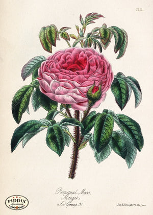 Pdxc5245 -- Roses Color Illustration