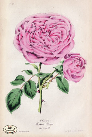 Pdxc5246 -- Roses Color Illustration