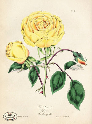 Pdxc5247 -- Roses Color Illustration