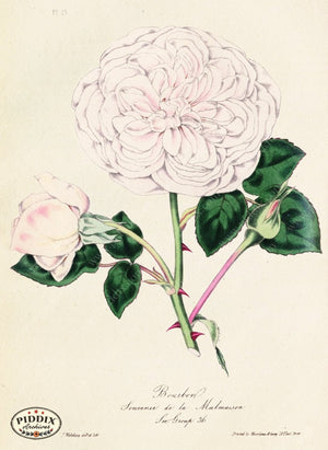 Pdxc5249 -- Roses Color Illustration