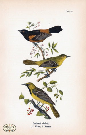 Pdxc5940 -- Birds Color Illustration