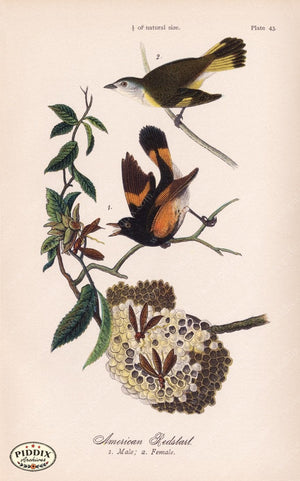 Pdxc5943 -- Birds Color Illustration