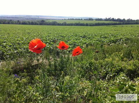 poppies and landscape