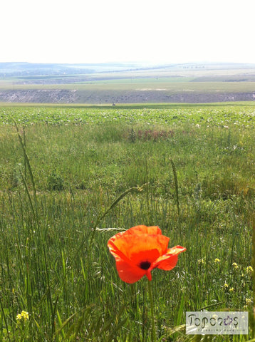 red poppy near river Răut in Moldova