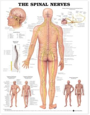 The Spinal Nerves Chart