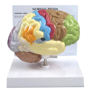 Half Brain Model - Sensory and Motor areas - ABC Books