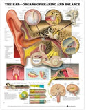 The Ear: Organs of Hearing and Balance Chart
