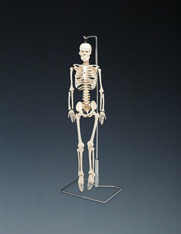 Flexible Mr. Thrifty Skeleton With Spinal Nerves - ABC Books