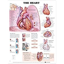 The Heart 2E LAMINATED CHART - ABC Books