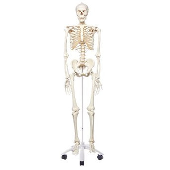 Human Skeleton Model - Stan - on pelvic mounted 5 foot roller stand - ABC Books