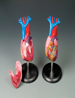 Budget Life-Size Heart Model - ABC Books