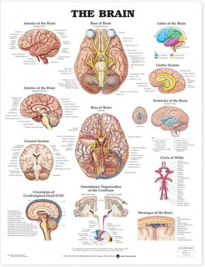 Brain Anatomical Chart - ABC Books