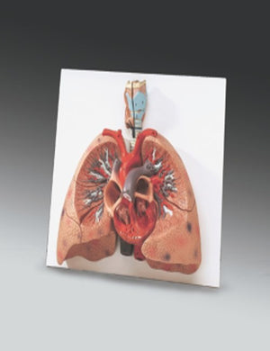 Lungs With Heart Model - ABC Books