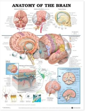 Anatomy of the Brain Chart - ABC Books