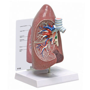 Right Lung Model - ABC Books
