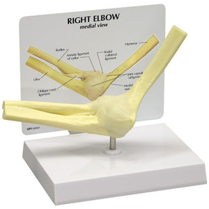 Basic Elbow Joint Model - ABC Books