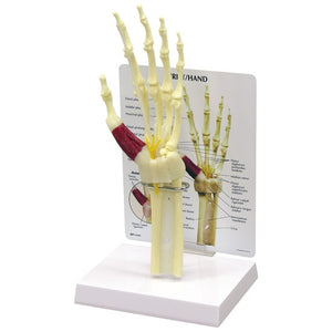 Hand And Wrist Model - ABC Books