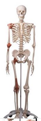 Skeleton Model with Ligaments - Leo - ABC Books