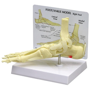 Foot And Ankle Model - ABC Books
