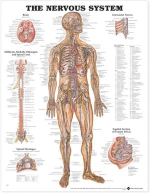 The Nervous System Chart - ABC Books