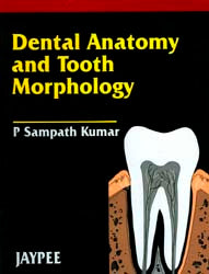 Dental Anatomy and Tooth Morphology