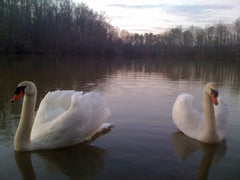 Swans on winter lake