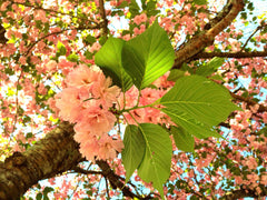 Pink spring flowering tree - Atlanta