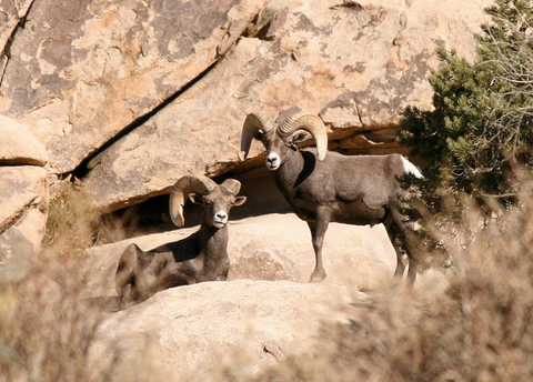 Bighorn Canyon National Recreation Area Bighorn sheep