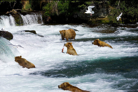 Katmai National Park and Preserve Bears Looking for trout