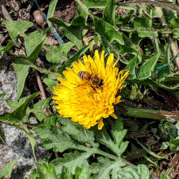 Are Dandelions Good for the Bees?