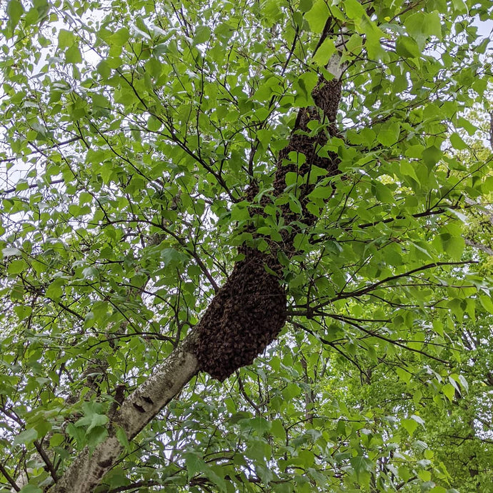 Why do honeybees swarm in spring?