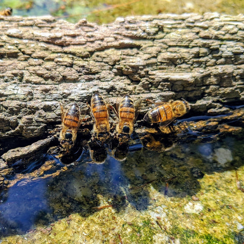 Bees on tree bark collecting water in a bird bath