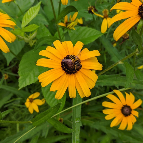 Hoverfly on Black-Eyed-Susan