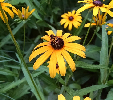 Flower fly on black eyed Susan. One of the many beneficial insects that visit our garden.