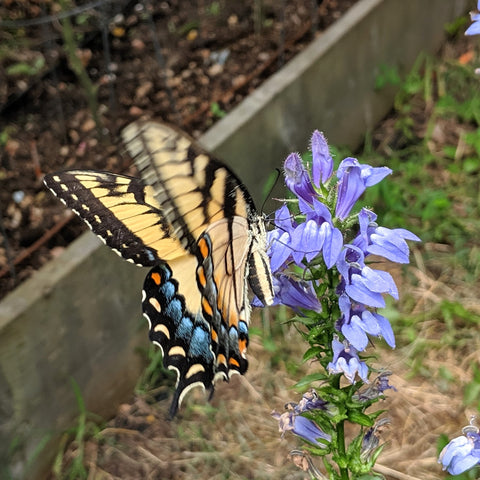 Great Blue Lobelia with Tiger Swallowtail Butterfly