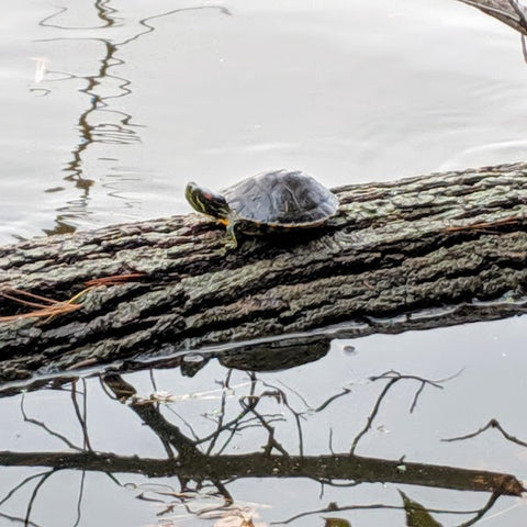 Terrapin on log floating at South Mountain Reservation reservoir.