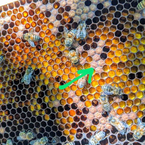 Capped brood cells in pollen frame